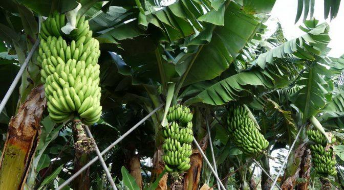 Bananensoftware