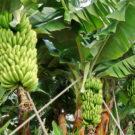 Bananensoftware reift beim Kunden